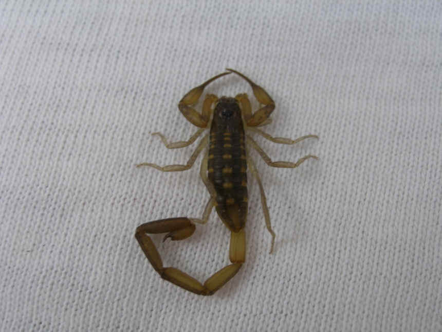 Scorpion on Kari's shirt