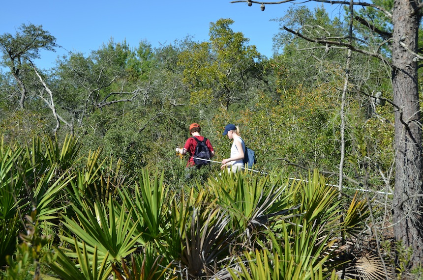 Line transects in the scrub