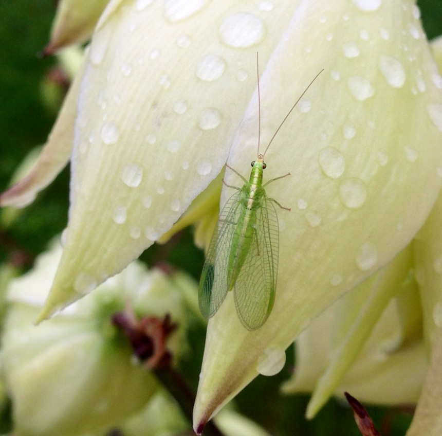 Lacewing visits a yucca flower